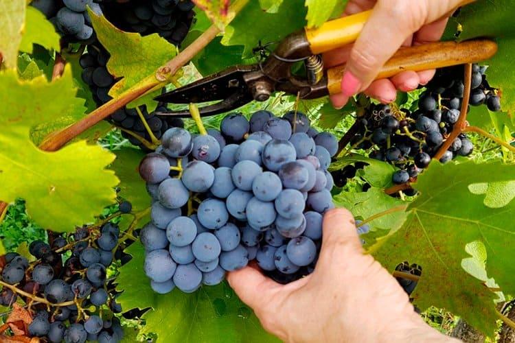 srezanie-vinograda-s-lozy
