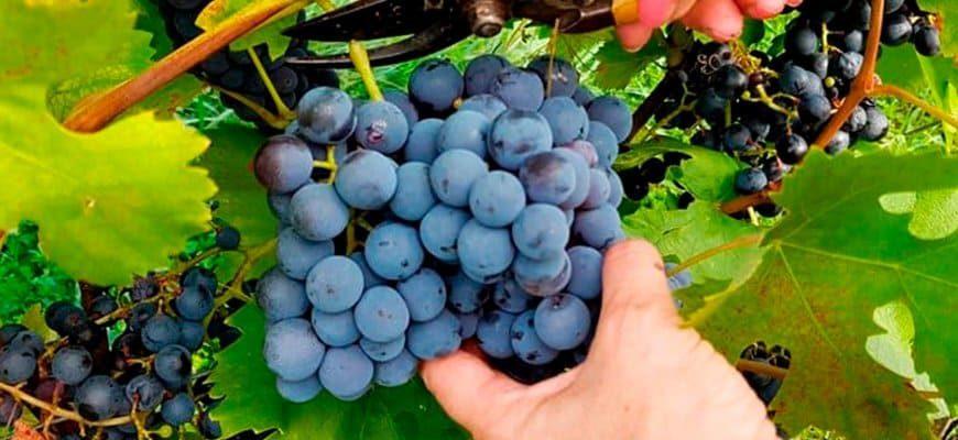 uborka-urozhaya-vinograda-v-toskane