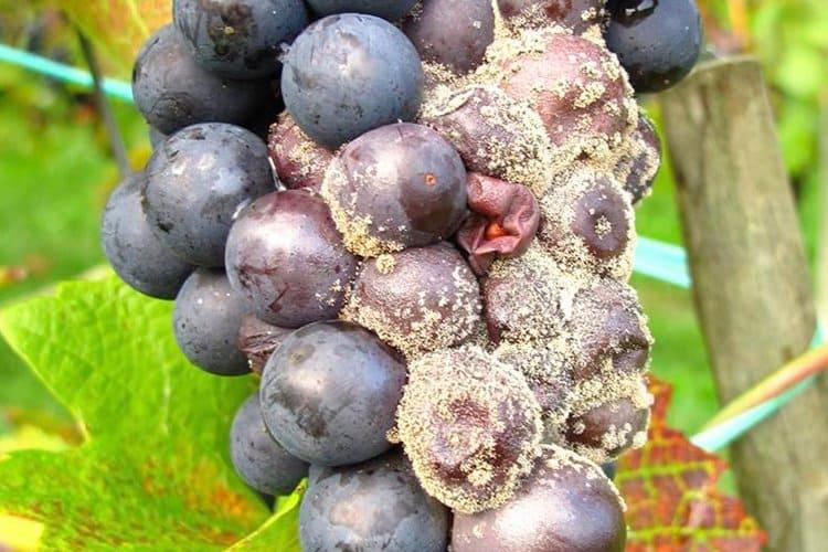 vinograd-s-plesenyu